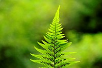 male-fern (Dryopteris filix-mas), underside of frond with spores, Germany