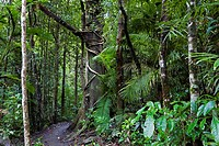 path in a rainforest, Australia, Queensland, Atherton Tablelands