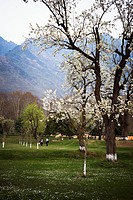 Almond trees in a garden, Shalimar Garden, Srinagar, Jammu And Kashmir, India