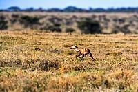 aardwolf (Proteles cristatus), walking through the savannah, Tanzania, Serengeti NP
