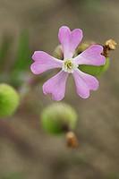 delta botanical garden: silene colorata flower, rosolina mare, italy