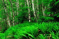 Sword ferns word fern (Polystichum munitum) and red alder (Alnus rubra), Haida Gwaii (Queen Charlotte Islands)- Sandspit, British Columbia, Canada