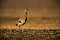 Whimbrel Numenius arquata in Gallocanta wildlife Reserve. Zaragoza