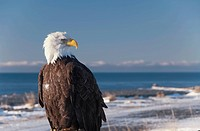 Alaska, A Stoic Blad Eagle Against A Clear Blue Sky.