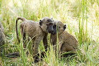 baboons in Queen Elizabeth National Park, uganda