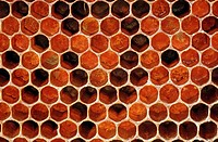 honey bee, hive bee (Apis mellifera mellifera), honeycombs, pollen cells, Germany