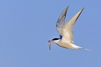 Common tern (Sterna hirundo), flying with caught fish in the beak, Netherlands, Texel
