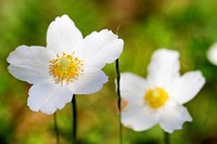 snowdrop anemone, snowdrop windflower (Anemone sylvestris), flowers, Germany, Bavaria, NSG Maeusberg