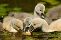mute swan (Cygnus olor), fledglings feeding on the water, Germany