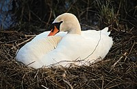 Brooding Mute Swan (Cygnus olor), Plothen ponds, Thuringia, Germany, Europe