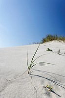 Dune vegetation, Portuguese Atlantic coast, Portugal