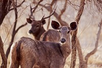 Deer, Gir Forest, India