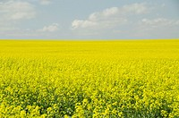 Canola Plants Field
