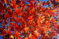 Red and orange leaves of Japanese maple in Autumn against blue sky
