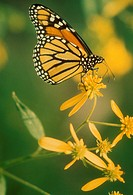 Monarch butterfly, Danaus plexippus on unidenitfied yellow flower