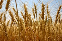 Agriculture , golden wheat in the field at harvest time , Indore , Madhya Pradesh , India
