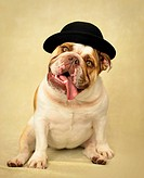 English Bulldog wearing bowler hat in studio