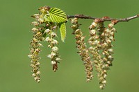 Leaves and Catkins of European Hornbeam, Carpinus betulus, Studio image.