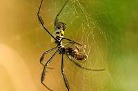 A Golden Orb spider wraps its prey in the web - storing for later