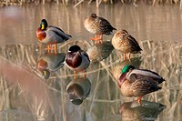 Male and female mallards mirrored on frozen lake - Milan, italy.