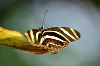 Butterfly Zebra Heliconian (Heliconius charithonia) on a leaf