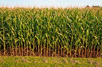 Rows of corn in Bowenville, Ontario, CA.