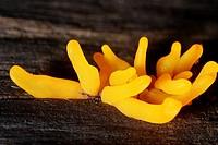 Mushroom, Basidiomycetes, Basiomycota, Fungi.