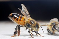 Honeybee worker with the Nasanov gland exposed. Olfactory comumunication to food sources.