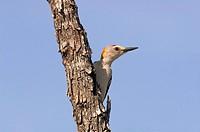 Golden-fronted Woodpecker (Melanerpes aurifrons) Edinberg,Tx