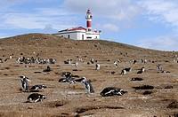 Magellanic Penguin (Spheniscus magellanicus) Punta Arenas Chile