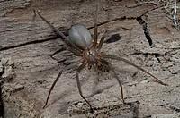 Brown Recluse (Loxosceles reclusa) venomous US spider