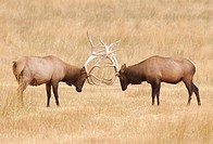 Elk (Cervus elaphus) Bulls sparring during the Rut, Utah, Darren Bennett Photo