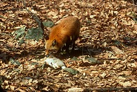 Red Fox killing Cottontail Rabbit prey