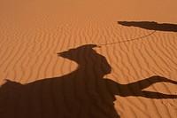 Shadow of Berber 'Blue man' leading camel across sand dunes, Erg Chebbi near Merzouga; Sahara Desert, Morocco