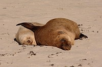 Australian Sea Lions, male with female (Neophoca cinerea) Kangaroo Island, Australia