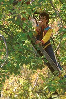 Kim Wilfons Eating an Apple in the Tree McSherry's Orchard ME Maine