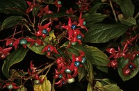 Harlequin Glorybower (Clerodendrum trichotomum) Christchurch Bot. Gradens NZ