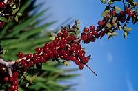 Yaupon (Ilex vomitoria) St. Joseph Peninsula, FL