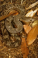 Southern Pine Snake (Pituophis melanoleucus mugitus) SE USA