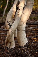 Aspen tree trunks bent by snow