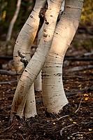 Aspen tree trunks bent by snow