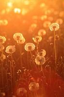 field of dandelion, Switzerland.