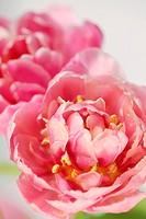 Close-up of tulips. Selective focus, shallow DOF.