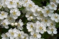 Common Hawthorn or Single-seeded Hawthorn (Crataegus monogyna)