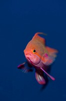 A scalefin anthias, Pseudanthias squamipinnis, Photographed in open water at South Ari Atoll, Maldives.