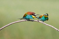European bee-eaters on a branch. The European bee-eater (Merops apiaster) is found in southern Europe and parts of northern Africa and western Asia. I...