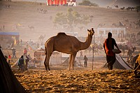 Scene at Pushkar Camel Fair, Pushkar, Ajmer, Rajasthan, India