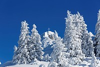 Snow-covered Spruce (Picea) trees