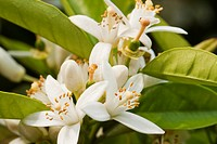 Close up view of a blooming flower of the orange tree.