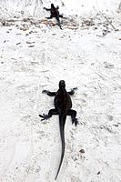 A pair of Marine Iguana (Amblyrhynchus cristatus) walking across a beach, Tortuga Bay, Galapagos Islands National Park, Santa Cruz Island, Galapagos, ...